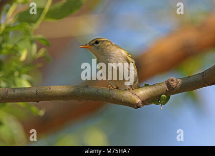 Claudia' Leaf-warbler (Phylloscopus daudiae) adult perched on branch  Bejing, China             May - Stock Photo