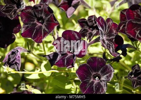 Black velvet petunia called Petunia x hybrid grows in a pot in a garden in Naples, Florida - Stock Photo