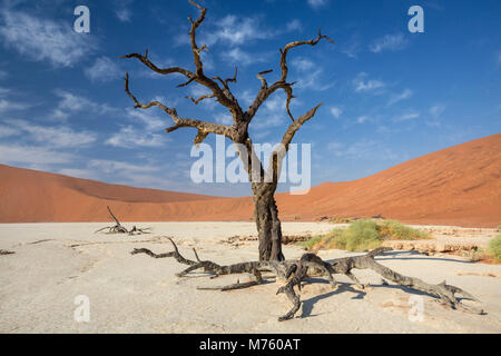 View of Dead Camelthorn Trees against red dunes and blue sky in Deadvlei of Sossusvlei Namib-Naukluft National Park - Stock Photo