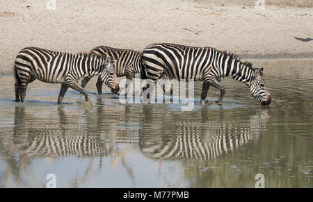 Burchells zebras (Equus burchelli) drinking at a water hole in the Tarangire National Park, Manyara Region, Tanzania, - Stock Photo