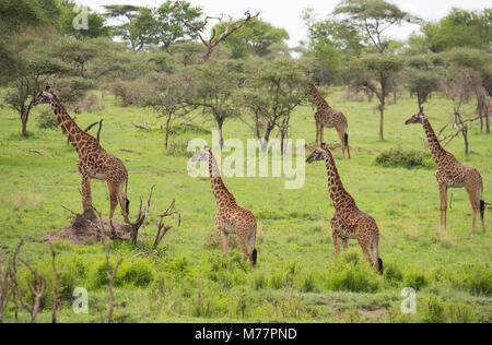A group of Masai giraffes (Giraffa camelopardalis) in Serengeti National Park, UNESCO World Heritage Site, Tanzania, - Stock Photo