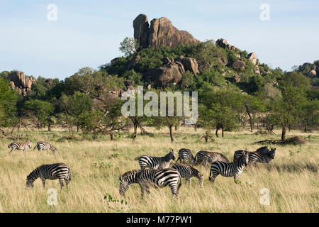 Burchells zebra (Equus burchelli) near a kopjes, in Serengeti National Park, UNESCO World Heritage Site, Tanzania, - Stock Photo