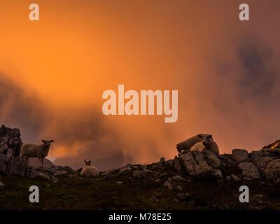 Sheeps on a hill during sunset with fog. - Stock Photo