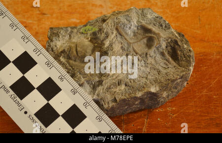 USNM. USNM 61523: Dated about 500 million years old and collected from the Pilgrim Limestone in Yellowstone National - Stock Photo