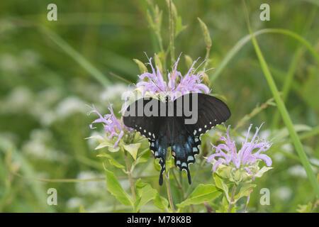 03029-01518 Spicebush Swallowtail (Papilio troilus) on Wild Bergamot (Monarda fistulosa) Marion Co. IL - Stock Photo