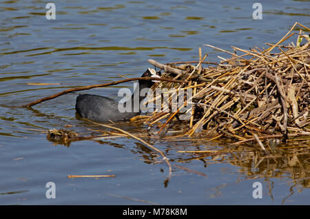 Eurasian Coot (fulica atra) building nest, UK - Stock Photo