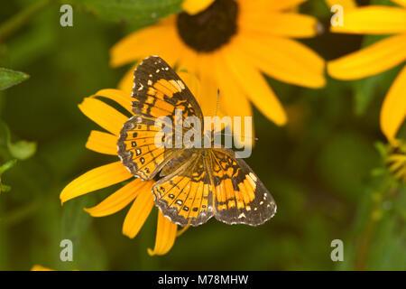 03365-00302 Silvery Checkerspot butterfly (Chlosyne nycteis) Goldstrum Black-eyed Susans (Rudbeckia hirta 'Goldstrum') - Stock Photo