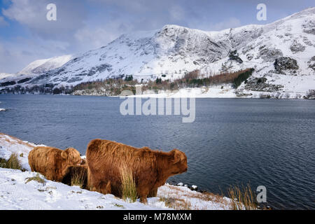 Winter farming conditions with snow covered fells and Highland Cattle by the lakeside at Buttermere in the English - Stock Photo