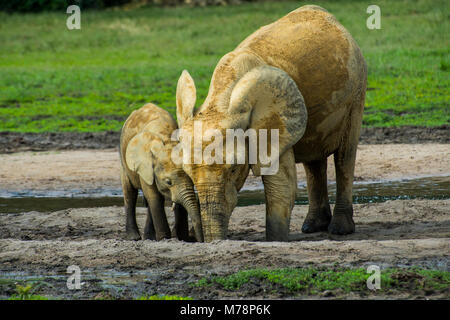 African forest elephant (Loxodonta cyclotis), Dzanga Bai, UNESCO World Heritage Site, Dzanga-Sangha Special Reserve, - Stock Photo
