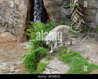 A white tiger prowling in its realistic but caged enclosure in Busch Gardens, Florida, USA - Stock Photo