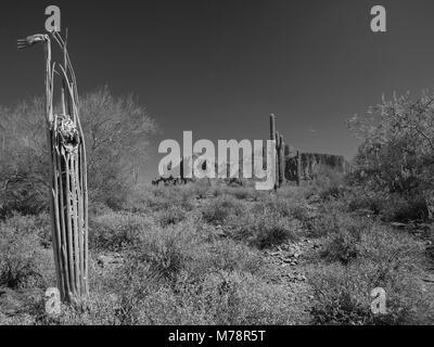 Dead Saguaro cactus near Superstition Mountain in Arizona in B&W - Stock Photo