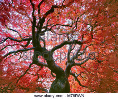 Late Autumn, Japanese Maple, Lace Leaf, Acer palmatum, Fern Canyon Garden, Mill Valley, California - Stock Photo