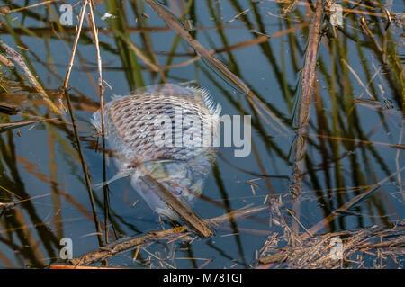 dead fish in a watering canal, Cyprinus carpio,  common carp or European carp - Stock Photo