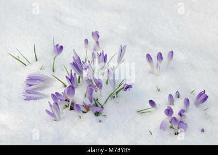 Purple flowers of Crocus tommasinianus showing above a light covering of snow. Naturalising in garden border. Late - Stock Photo