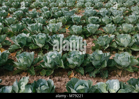 fresh organic vegetable in the garden, green cabbage, good for health, soft green color - Stock Photo