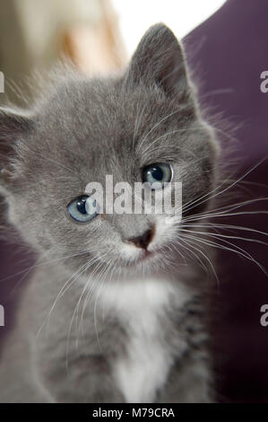 To kittens and one kitten, grey an black/white coloured - Stock Photo