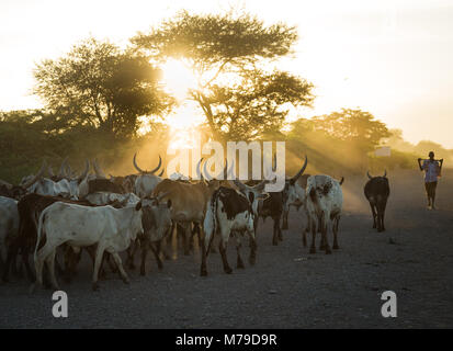 Herd of cows with long horns at sunset, Afar region, Afambo, Ethiopia - Stock Photo