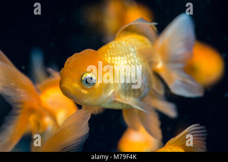 Some fish in a freshwater aquarium. - Stock Photo
