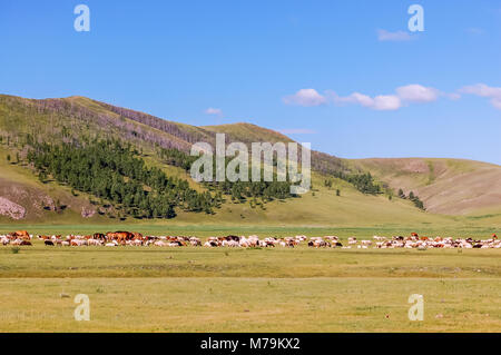 Herds of horses, sheep & goats graze on grasslands of central Mongolian steppe - Stock Photo