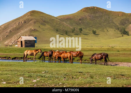 Herd of horses drink water on grasslands of central Mongolian steppe - Stock Photo