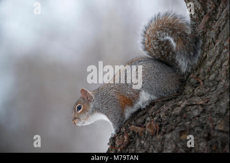 Grey Squirrel or Eastern Gray Squirrel, (Sciurus carolinensis), in tree in winter, Regents Park, London, United Kingdom