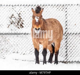 A Przewalski's horse or Dzungarian, Equus ferus przewalskii, a rare endangered wild horse, Assiniboine Park Zoo, - Stock Photo