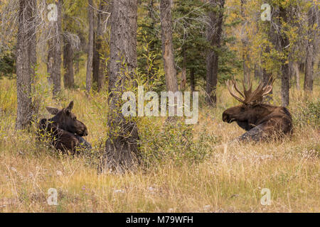 Bull and Cow Shiras Moose During the Fall Rut in Wyoming - Stock Photo