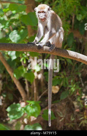 Long tailed macaque (Macaca fascicularis) juvenile threatening another monkey while sitting on tree branch. Also - Stock Photo