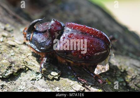 Rhinoceros beetle, Rhino beetle, Hercules beetle, Unicorn beetle, Horn beetle . - Stock Photo