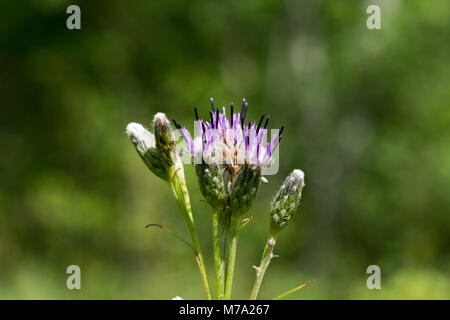 Inflorescence of Estonian sawwort (Saussurea alpina subsp. esthonica) - Stock Photo