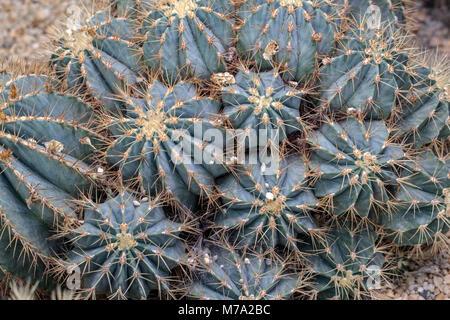 Glaucous barrel cactus, Blågrön djävulstunga (Ferocactus glaucescens) - Stock Photo