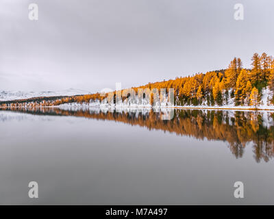 Beautiful reflection of autumn trees in the still water. Yellow larches and green spruces are covered in snow. A - Stock Photo