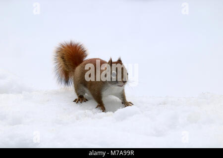A little American Red Squirrel (Tamiasciurus hudsonicus) searching for food on a snowy day. - Stock Photo