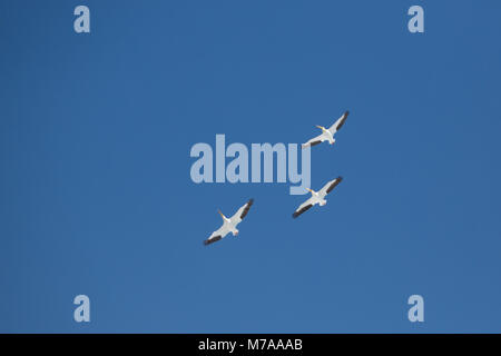 Three American Pelicans from below on blue sky - Stock Photo