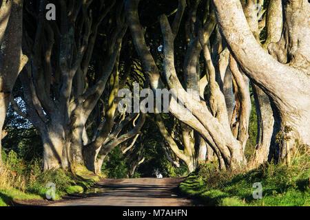 Avenue with iconic trees, Bregagh Road, Ballymoney, Northern Ireland - Stock Photo