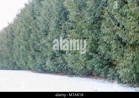 Evergreen thuja hedgerow screen in garden in Olmonty, eastern Poland. Late winter time. - Stock Photo