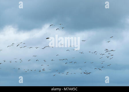 Group of barnacle geese (Branta leucopsis) in the flight - Stock Photo
