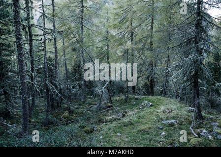 mystic forest, lichens overcast larches - Stock Photo