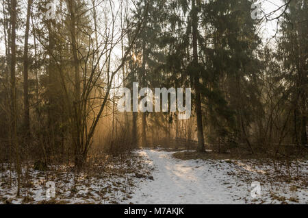 Light rays of winter sunrise in the light fog between trees of Solnicki forest- city forest of Bialystok city, Poland. - Stock Photo