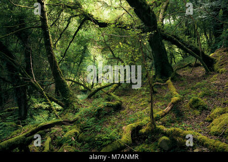 Primeval forest in mystical light at Bantry Bay, Cork, Ireland - Stock Photo