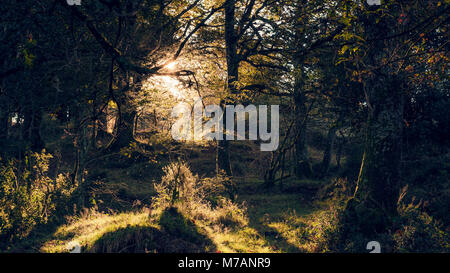 Light and shadow in dense forest in Bizkaia, mystical backlit scene with morning dew, Basque Country, Northern Spain, - Stock Photo