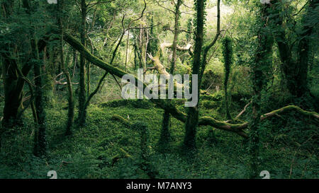 Primeval forest in mystical light near Bantry Bay, Cork, Ireland - Stock Photo