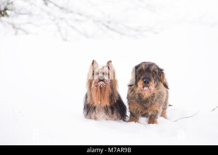 Wire haired and long hair dachshund dogs sitting together isolated ...