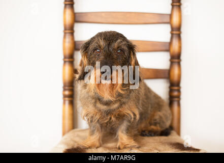 Wire-Haired Dachshund Portrait, posing on the chair - Stock Photo