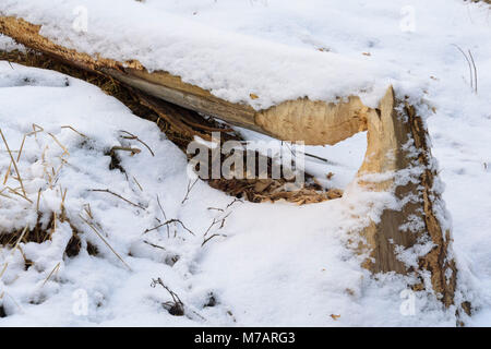 Tree trunks gnawed by european beaver, Castor fiber,  in winter, Spessart, Bavaria, Germany - Stock Photo