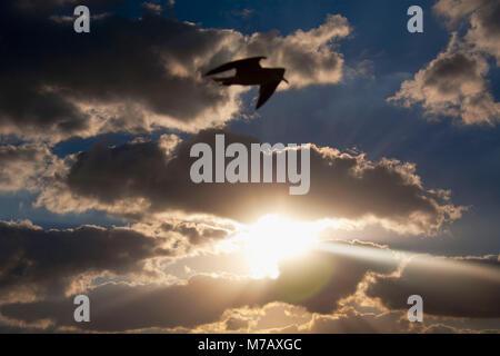 Bird flying in the sky during sunset, Key West, Florida Keys, Florida, USA - Stock Photo