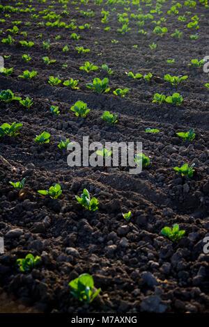 Crop in a field, California, USA - Stock Photo
