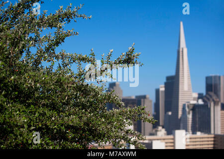 Tree with buildings in the background, Transamerica Pyramid, San Francisco, California, USA - Stock Photo