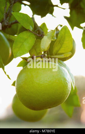 Close-up of green oranges on a tree - Stock Photo