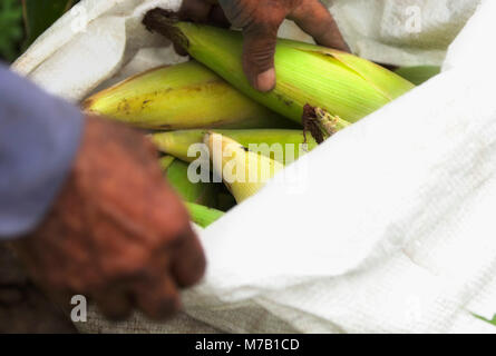 Person's hand filling corns in a sack, Valle del Cauca, Colombia - Stock Photo